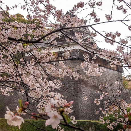 Cherry Blossoms at Kumamoto Castle