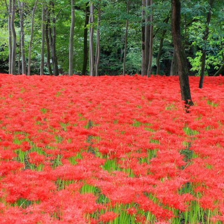 Japan's Rainbow of Floral Color